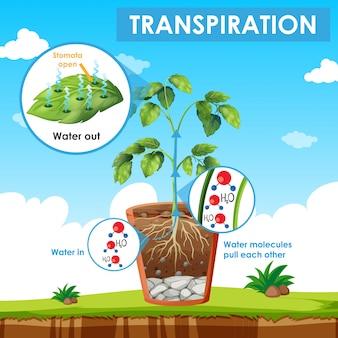 Diagrama mostrando a transpiração na planta