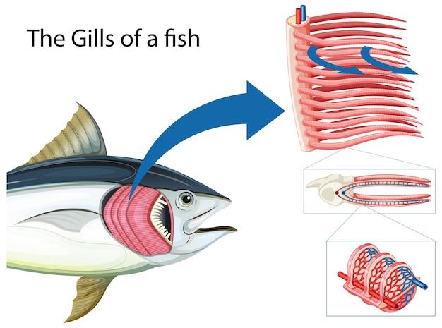 Diagrama mostrando as grelha de um peixe