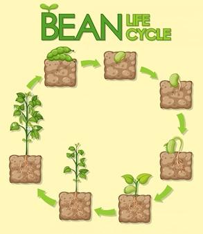 Diagrama mostrando como as plantas crescem da semente ao feijão