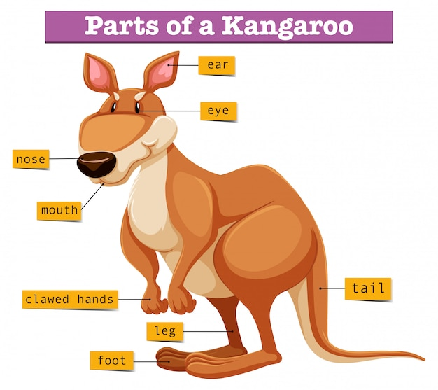 Diagrama mostrando diferentes partes do canguru