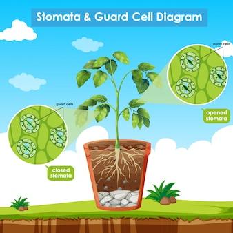 Diagrama mostrando estômatos e célula de guarda
