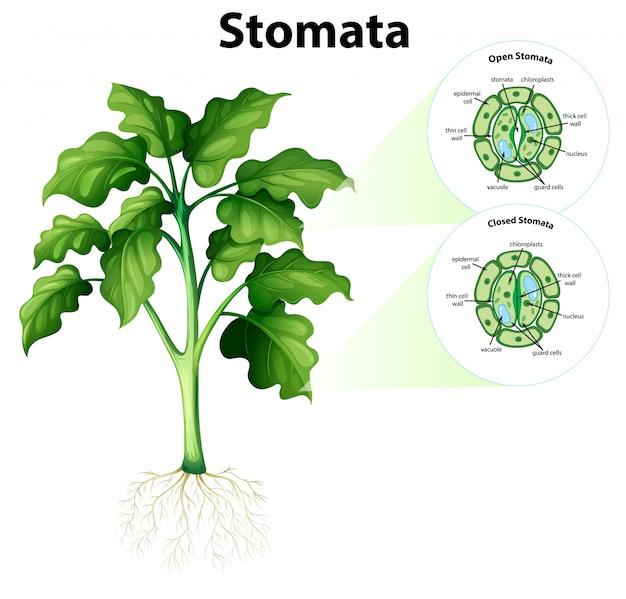 Diagrama mostrando estômatos em fundo isolado
