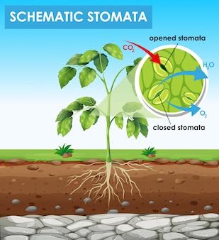 Diagrama mostrando estômatos esquemáticos