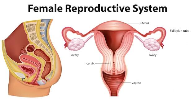 Diagrama, mostrando, femininas, reprodução, sistema, ilustração