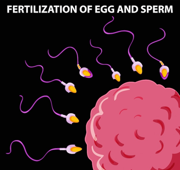 Diagrama mostrando fertilização de ovo e esperma