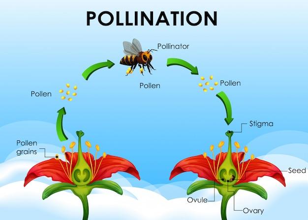 Diagrama mostrando o ciclo de polinização