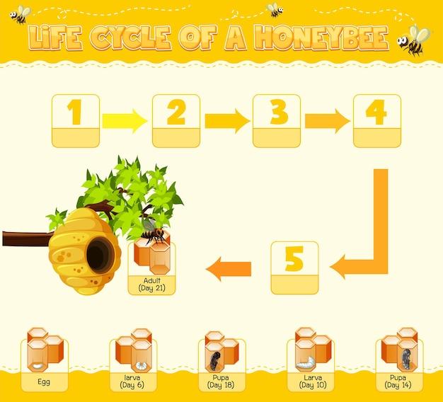 Diagrama mostrando o ciclo de vida da abelha de mel