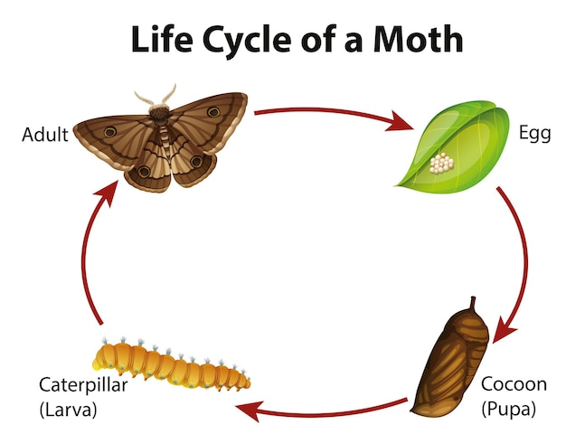 Diagrama mostrando o ciclo de vida da mariposa