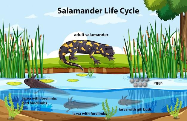 Diagrama mostrando o ciclo de vida da salamandra