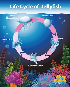 Diagrama mostrando o ciclo de vida das águas-vivas