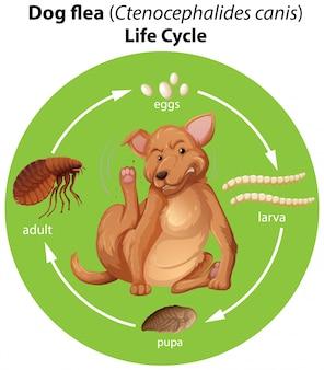 Diagrama mostrando o ciclo de vida das pulgas de cães