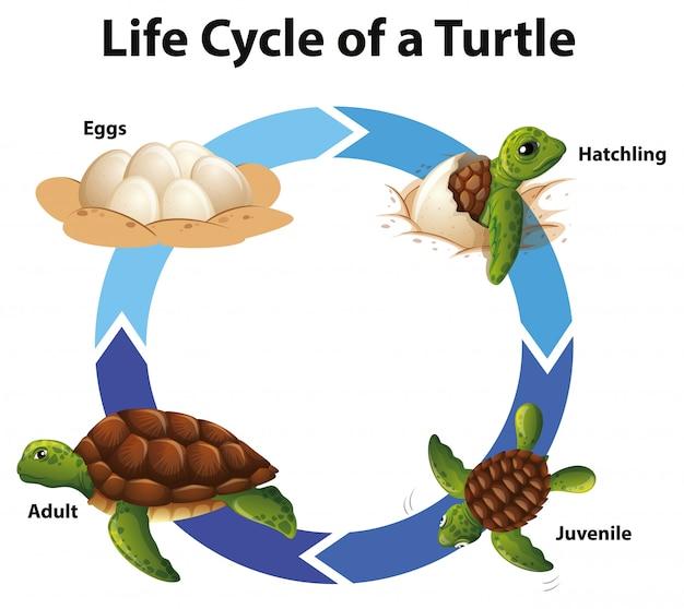 Diagrama mostrando o ciclo de vida das tartarugas marinhas