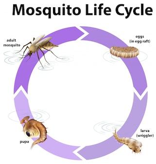 Diagrama mostrando o ciclo de vida do mosquito