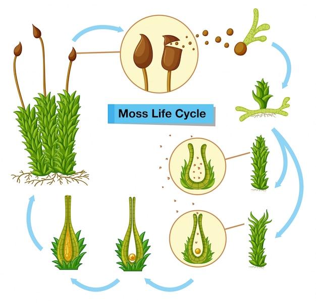 Diagrama mostrando o ciclo de vida do musgo