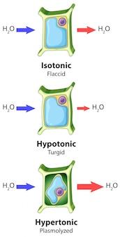 Diagrama mostrando o conceito de osmose de células vegetais