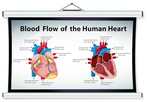 Diagrama mostrando o fluxo sanguíneo no coração humano