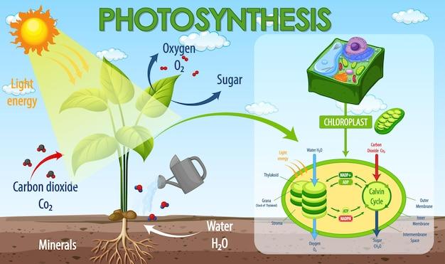 Diagrama mostrando o processo de fotossíntese na planta