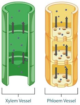 Diagrama mostrando o sistema de tecido vascular em plantas