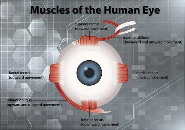 Diagrama mostrando os músculos do olho humano em fundo cinza