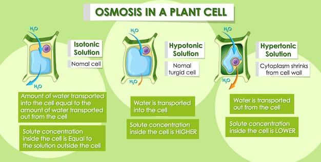 Diagrama mostrando osmose na célula vegetal