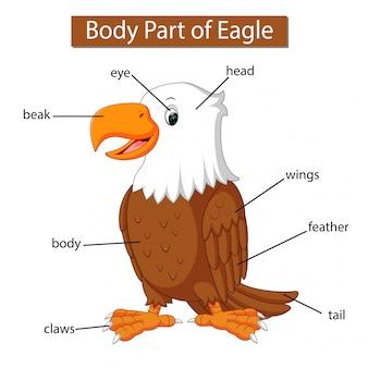 Diagrama mostrando parte do corpo da águia