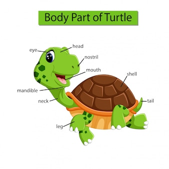Diagrama mostrando parte do corpo da tartaruga