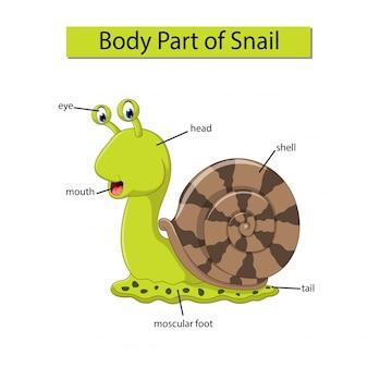 Diagrama mostrando parte do corpo do caracol