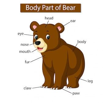 Diagrama mostrando parte do corpo do urso