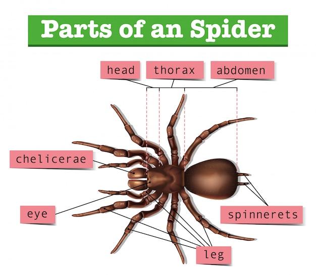 Diagrama mostrando partes da aranha