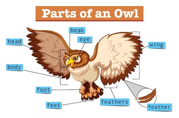 Diagrama mostrando partes da coruja