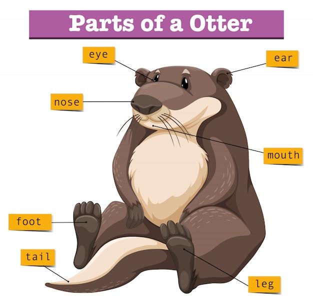 Diagrama mostrando partes da lontra