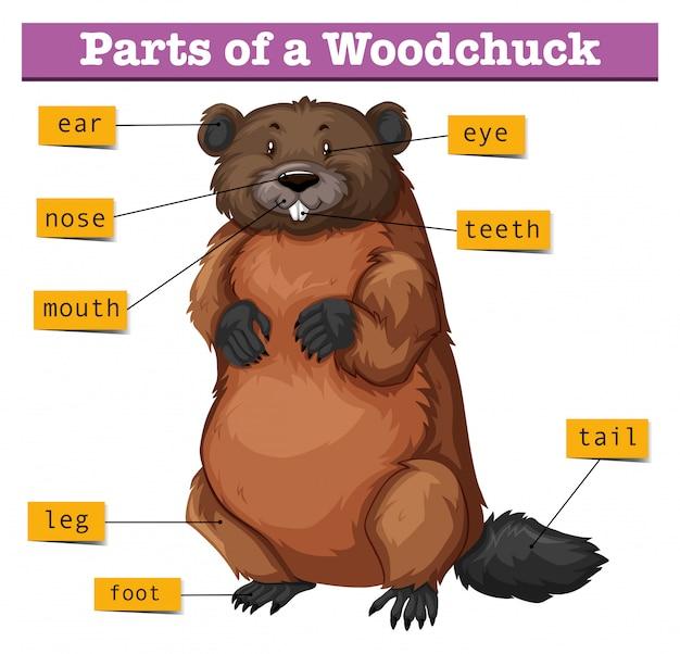 Diagrama mostrando partes da marmota