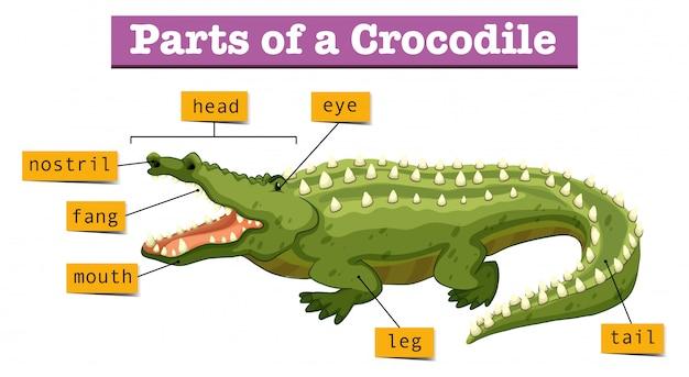 Diagrama mostrando partes do crocodilo