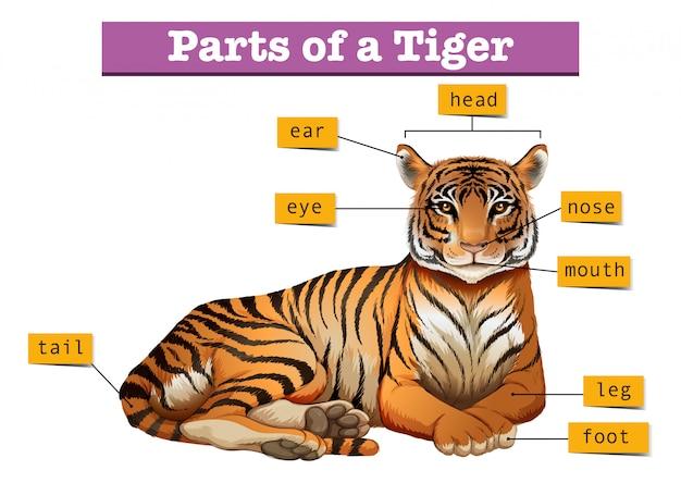 Diagrama mostrando partes do tigre