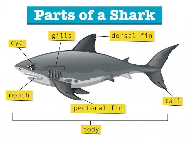 Diagrama mostrando partes do tubarão