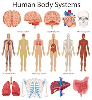 Diagrama mostrando sistemas de corpo humano