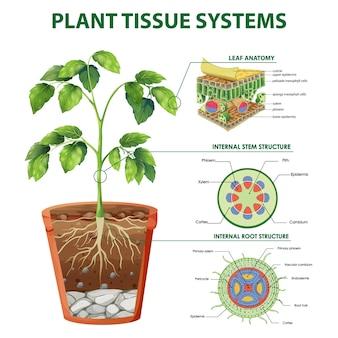 Diagrama mostrando sistemas de tecidos vegetais