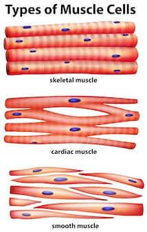 Diagrama mostrando tipos de células musculares