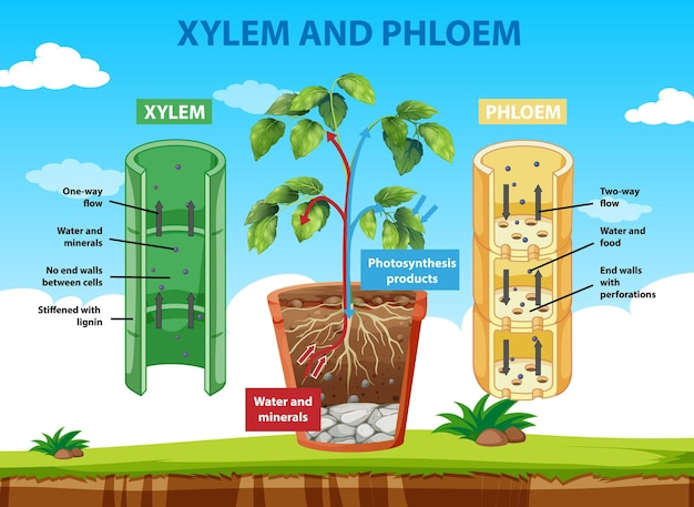 Diagrama mostrando xilema e floema da planta