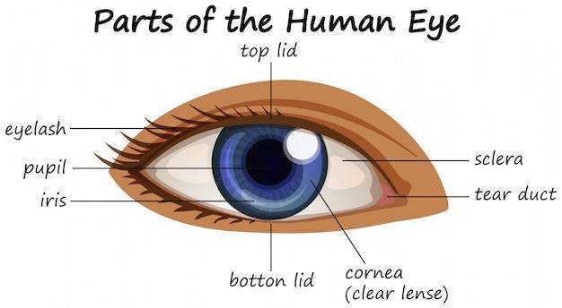 Diagrama que mostra partes do olho humano