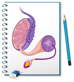 Diagrama reprodutivo masculino no papel