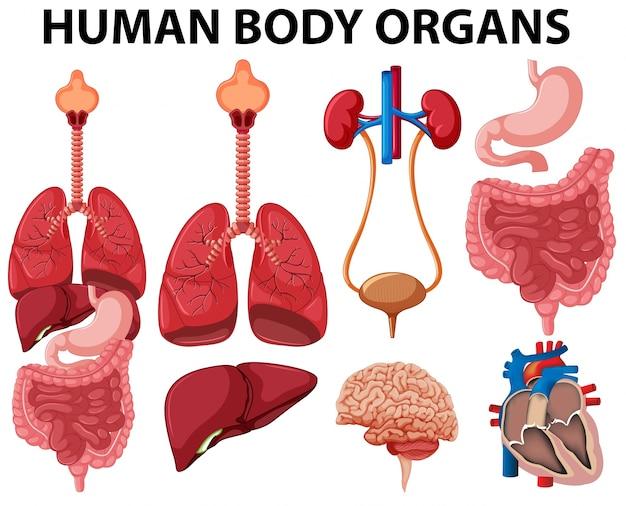 Diferentes tipos de órgãos do corpo humano