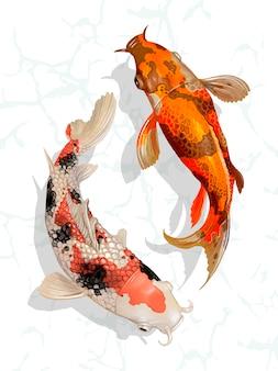 Dois, koi japonês, peixe, natação