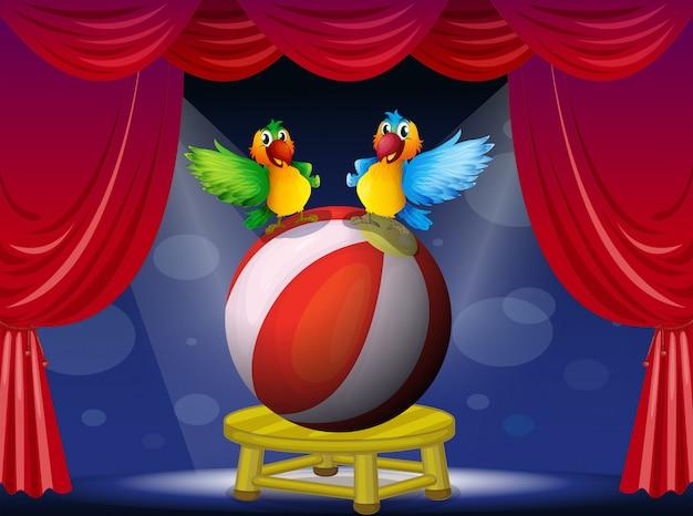 Dois papagaios coloridos no palco