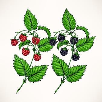 Dois ramos desenhados à mão com framboesas e amoras