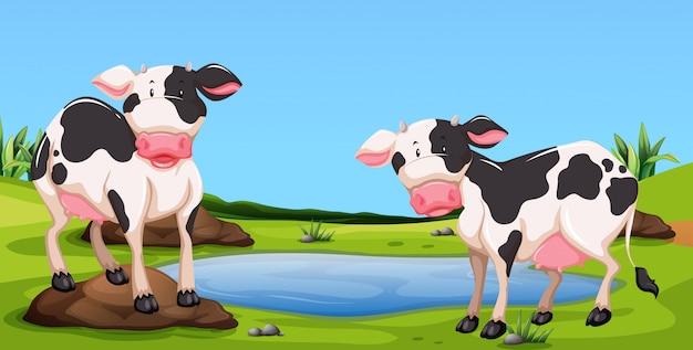 Dois, vacas, ficar, em, farmyard
