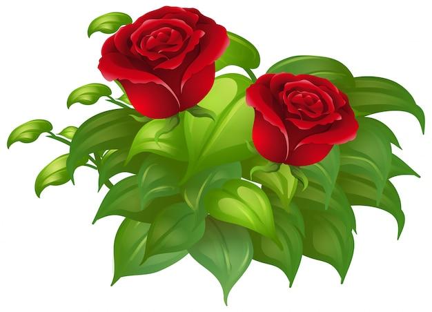 Duas rosas vermelhas e folhas verdes