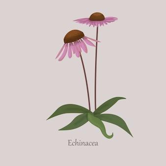 Echinacea planta herbal perene com flores roxas.