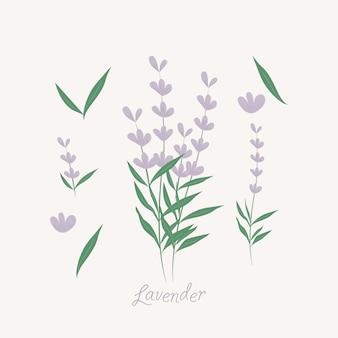 Elementos de flores de lavanda. ervas de lavanda