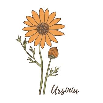 Elementos de flores de outono desenhados à mão conjunto flor de ursínia
